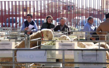 Agrama repite éxito en Manzanares con la subasta de sementales de raza ovina manchega