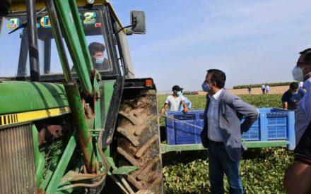 El consejero de Agricultura, Agua y Desarrollo Rural, Francisco Martínez Arroyo, ha visitado el melonar de la Cooperativa 'Santiago Apóstol' de Tomelloso